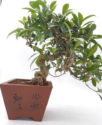 Ficus retusa semi-cascade