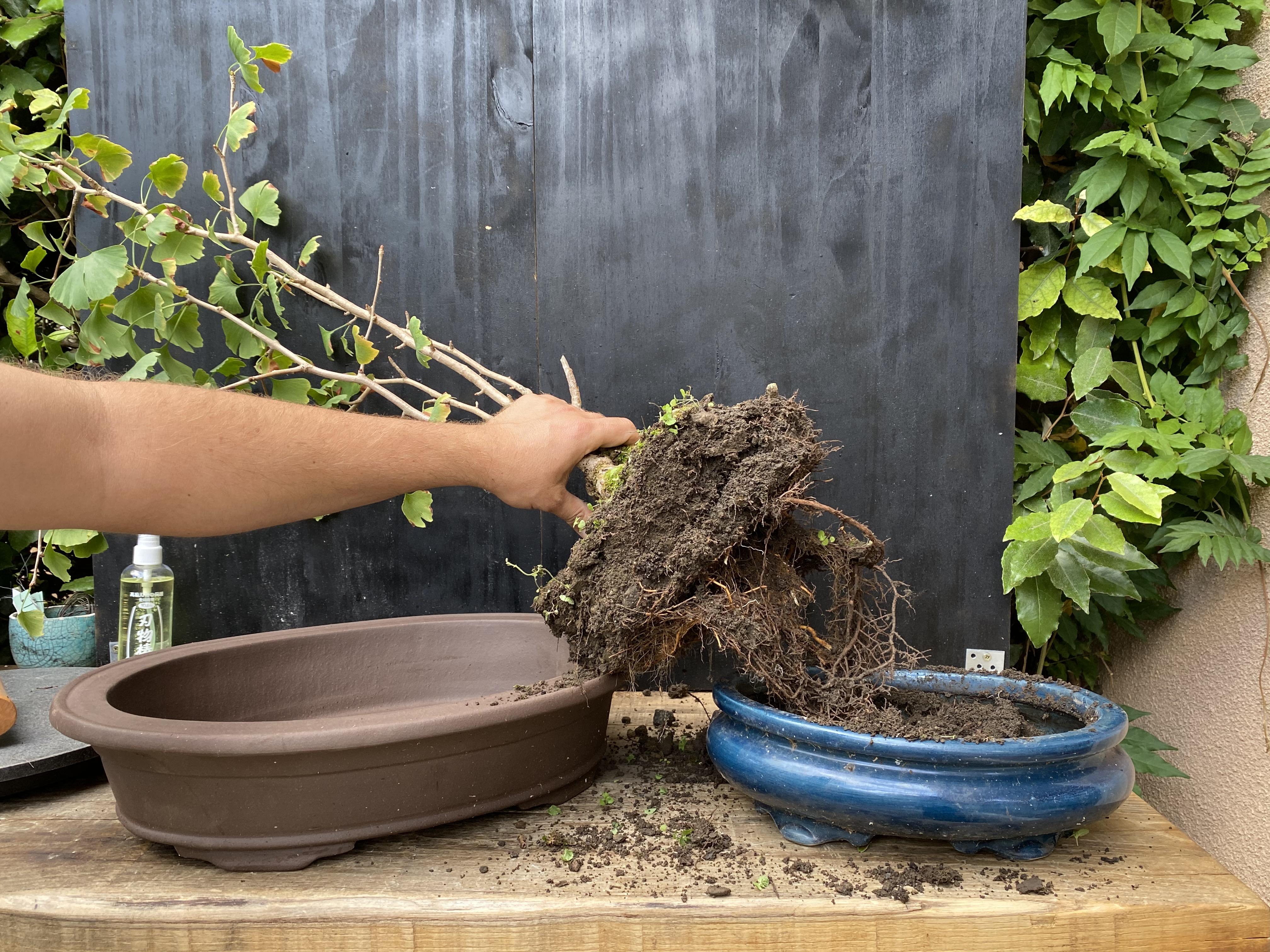 Atelier rempotage de bonsaï