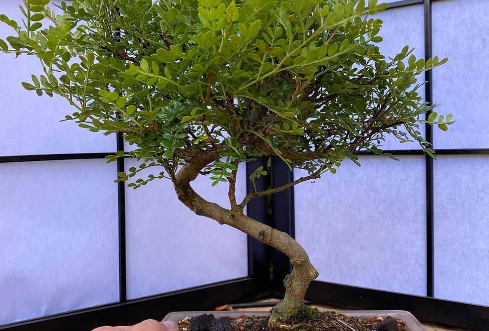 Faux Poivrier (Zanthoxyllum Piperitum)