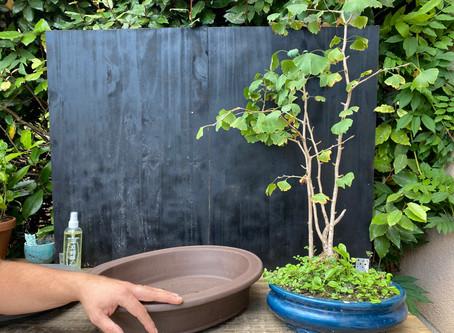 Rempotage d'un bonsaï de Ginkgo biloba