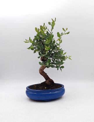 Quercus suber (Chêne-liège)