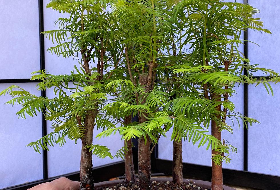 Forêt de metasequoia