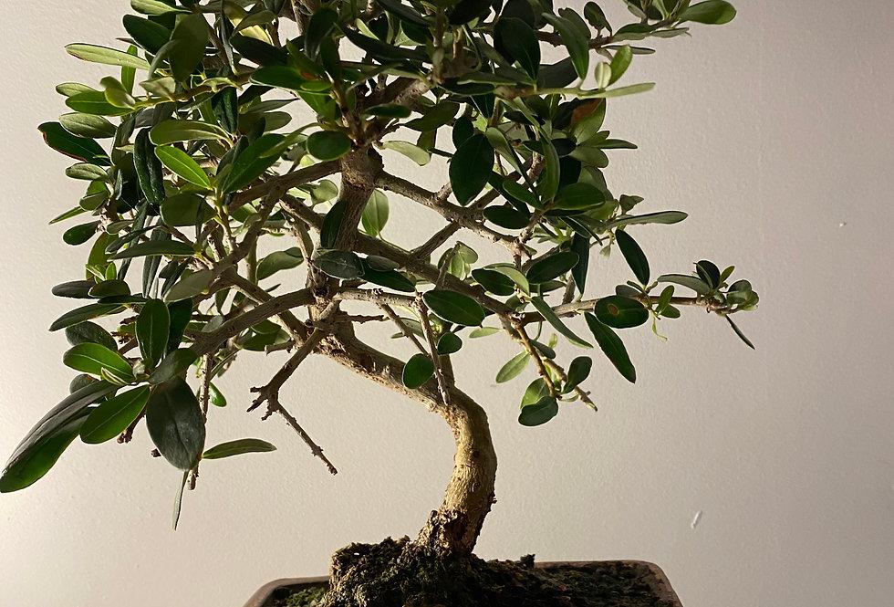 Olivier sauvage (Olea sylvestris)