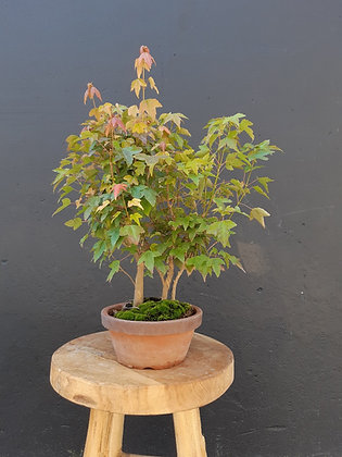 Acer buergerianum forêt (Erable trident)