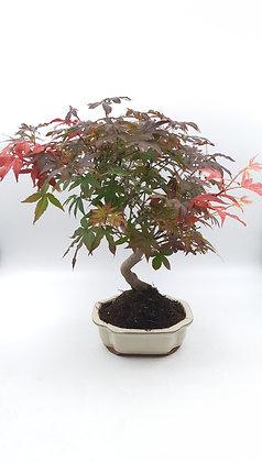 Acer palmatum atropurpureum (Erable pourpre du Japon)