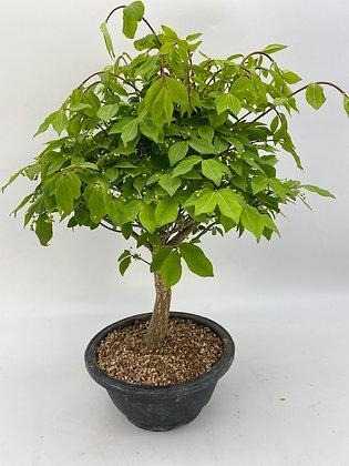 Euonymus alatus (Fusain ailé)
