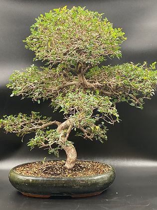 Orme de Chine (Zelkova parvifolia)