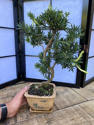 Podocarpus macrophyllus (pin des Bouddhistes)