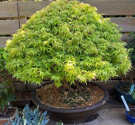 Érable japonais (Acer palmatum 'Kiyohime')