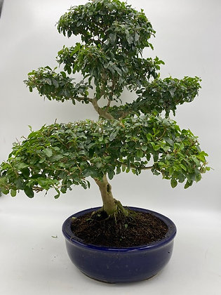 Ligustrum sinensis (Troène de Chine)