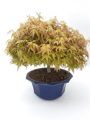 Acer palmatum 'Kiyohime'(Erable japonais)
