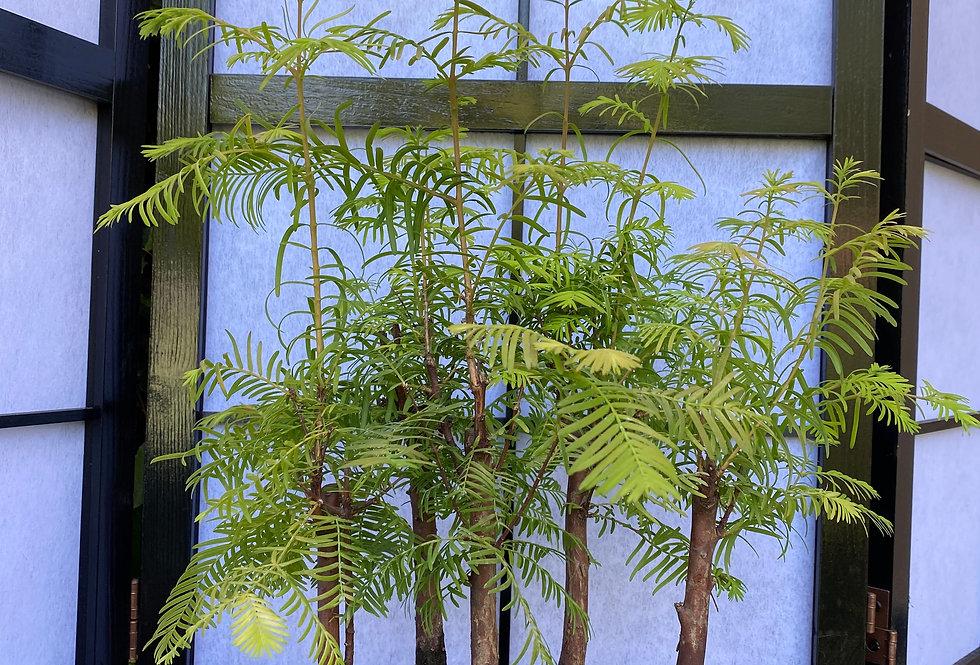 Metasequoia en forêt