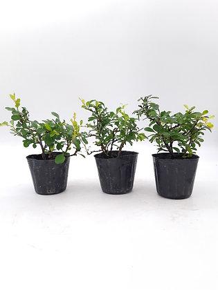 Chaenomeles (Cognassier du Japon) en pré-bonsaï