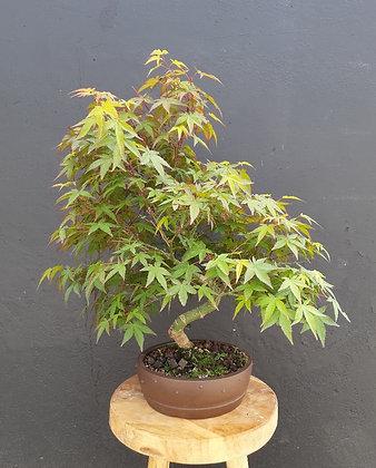 Acer palmatum 'Shaïna'