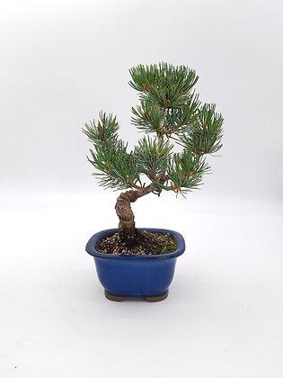 Pinus pentaphylla (Pin blanc du Japon)