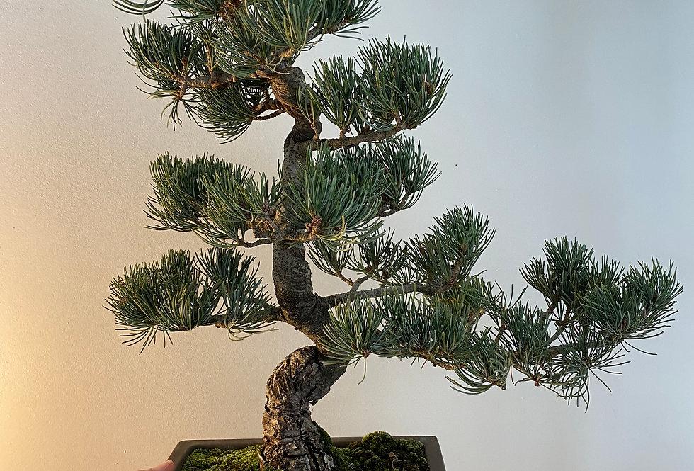 Pin blanc du Japon (Pinus pentaphylla)