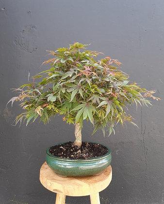 Acer palmatum 'shaina' (Erable du Japon)