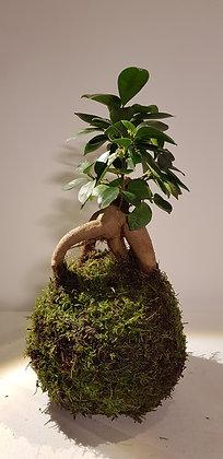 Kokedama Ficus Ginseng