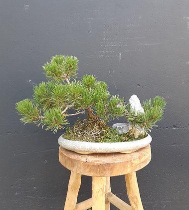 Pinus mugo avec roche (Pin des Montagnes)
