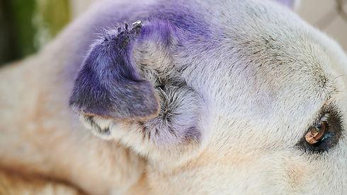dog ear wound care.jpeg