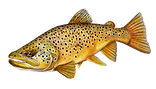 Brown trout new corrected.png