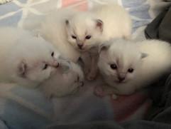 chatons mélisse.jpg