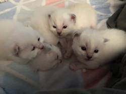 chatons mélisse