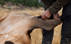 The group is happy if they get three elk in a week, and they usually don't take more than four.