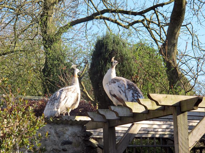 Pea hens perching