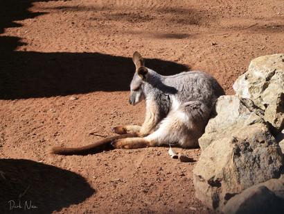 Kangaroo Nap