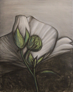 Rose of Sharon (Hibicius)