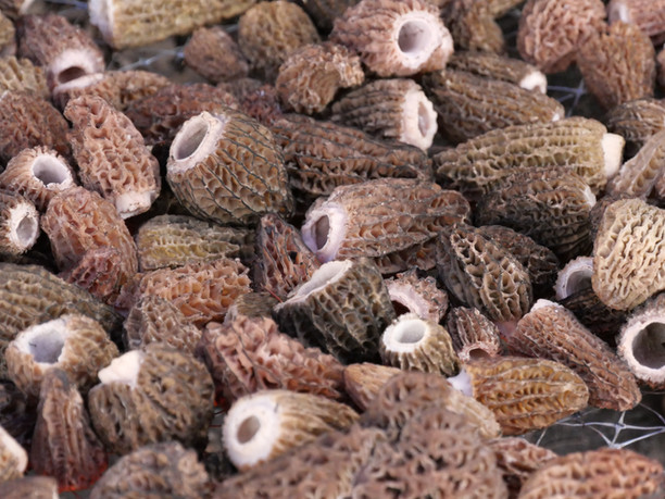 morille-sauvage-2019-morilles sechees-p2