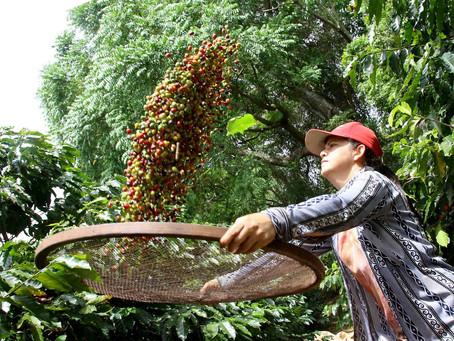 Boletim agropecuário destaca término da colheita do café no Paraná