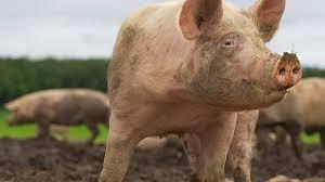 JARDIM ALEGRE - Porcos são furtados em chácara