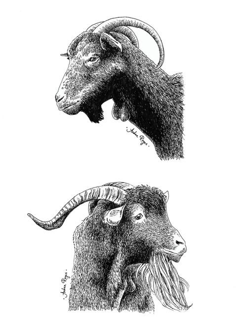 Cabras asturianas (A4).