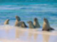 image_wilderness socity_Sea Lions.jpg