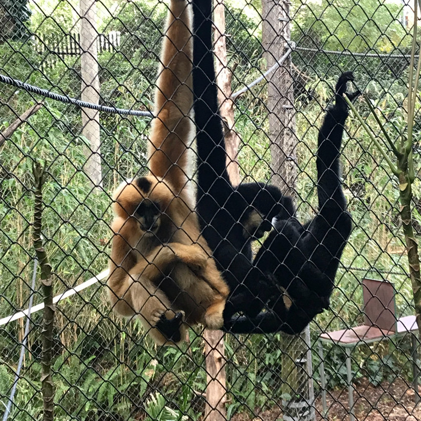 funny funky gibbons
