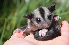 Australian native possum