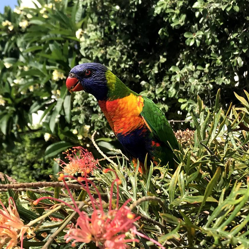 rainbow lorikeet having a feed