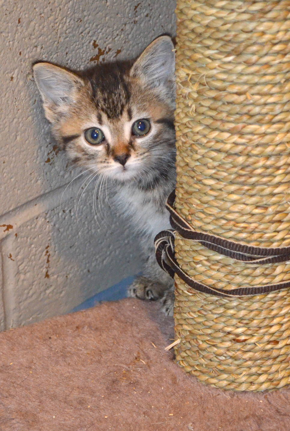 'KITTEN SEASON' at the Woodford Humane Society means about 70 percent of the more than 160 animals in its care last Thursday were felines, according to executive director Katie Hoffman. (Photo by Bob Vlach)