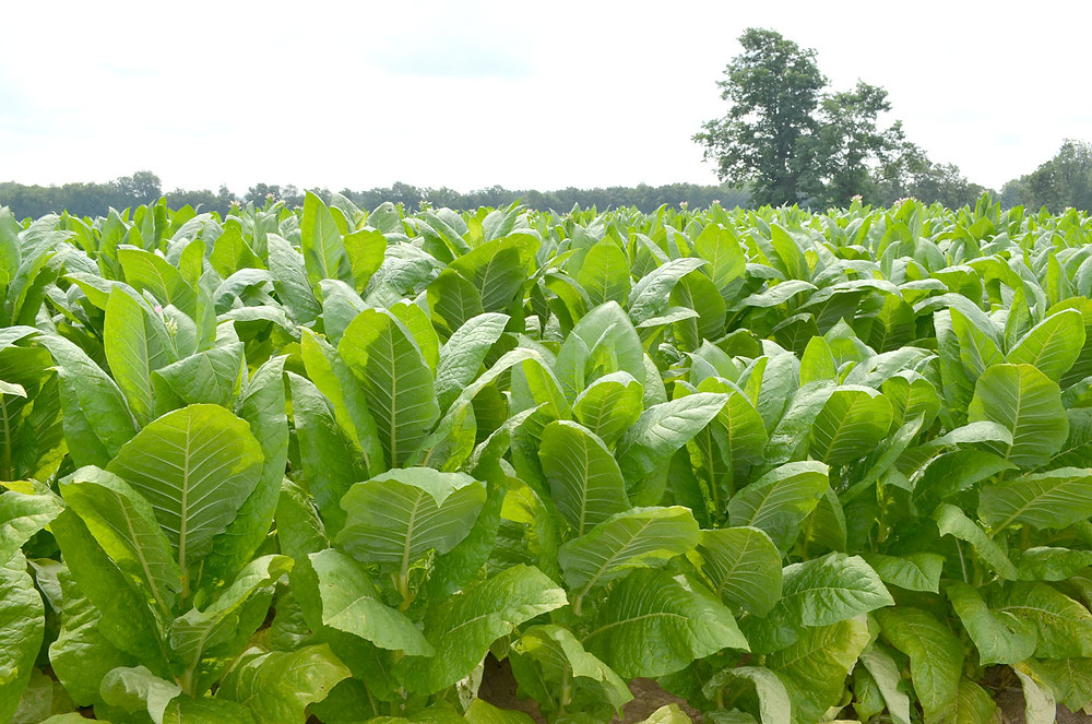 WOODFORD COUNTY GROWERS raised 7.1 million pounds tobacco in 1992 to rank 6th in the state. By 2012, local growers raised only 2.17 million pounds of tobacco, with that number expected to drop to 1.5 million pounds this year. (Photo by Bob Vlach)