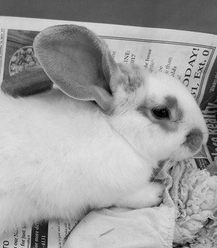 Flopsy is an adult, neutered English spot mix male rabbit. He is litter box trained, well-socialized and loves to be handled. He arrived with another rabbit, Flipsy, and they can be adopted singly or as a pair. For more information, call 859-873-5491.
