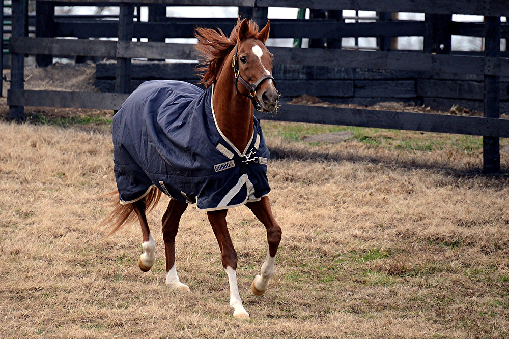 CHARISMATIC, the 1999 Kentucky Derby and Preakness winner who arrived at Old Friends Thoroughbred retirement farm in Georgetown from Japan on Dec. 3, 2016, ran around and explored his paddock the day after his arrival. The 20-year-old chestnut stallion unexpectedly died early Sunday morning, Feb. 19. He was 21. (Photo by Laura Battles)