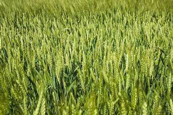 The May wheat futures prices were the highest they have been since 2014. (Photo by Steve Patton, UK agricultural communications)