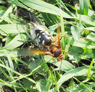 Cicada killer wasp returning to its burrow with a cicada. (Photo by Lee Townsend, UK)