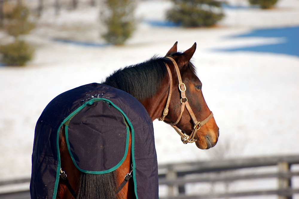 HIDDEN LAKE (1993-2016) looks around her new home on the day she arrived at Old Friends Retirement Farm in Georgetown in January 2009. (Photo by Rick Capone)