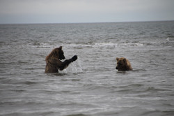 Bears playing in the ocean