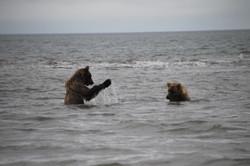 Bears playing in the ocean