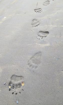 (Bear paw prints)