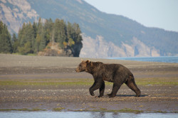 Lake Clark National Park Brown bear